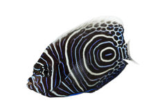 Emperor Angelfish, Pomacanthus imperator, isolated. On white royalty free stock photography