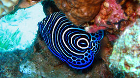 Emperor Angelfish. Pomacanthus Imperator,juvenile. Juvenile emperor angelfish at the coral reef royalty free stock photos