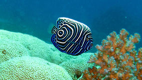 Emperor Angelfish. Pomacanthus Imperator,juvenile. Juvenile emperor angelfish at the coral reef stock photo