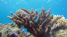 Emperor angelfish, Pomacanthus imperator Red Sea. Egypt royalty free stock photos