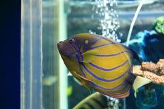 Emperor angelfish Royalty Free Stock Photo