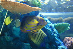 Emperor angelfish Stock Image