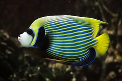 Emperor angelfish Pomacanthus imperator. Tropical fish stock images