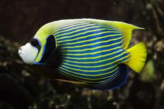 Emperor angelfish Pomacanthus imperator. Tropical fish royalty free stock photo