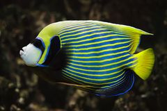 Emperor angelfish Pomacanthus imperator. Tropical fish stock photography