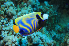 Emperor angelfish. (Pomacanthus imperator) in the tropical waters of the red sea Stock Photos