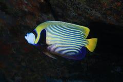 Emperor angelfish. & x28;Pomacanthus imperator& x29; underwater in the indian ocean Stock Photos