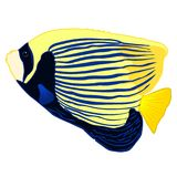 Emperor Angelfish vector. Emperor Angelfish, Pomacanthus imperator, vector isolated on a white background, tropical reef fish illustration Royalty Free Stock Images