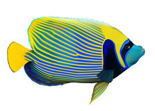 Emperor angelfish. (Pomacanthus imperator) on white, vector illustration Royalty Free Stock Images
