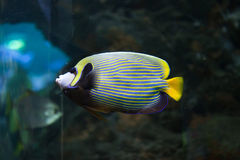 Emperor angelfish (Pomacanthus imperator). stock image