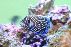 Emperor angelfish. (Pomacanthus imperator) young fish stock photography