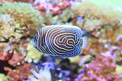 Emperor angelfish. (Pomacanthus imperator) young fish stock image