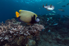 Emperor angelfish in the Red Sea. Royalty Free Stock Images