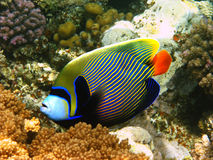 Emperor angelfish in Red sea Royalty Free Stock Images