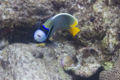 Emperor angelfish at Surin island Royalty Free Stock Image