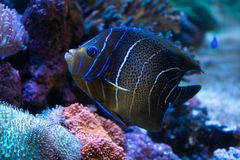 Emperor Angelfish in aquarium royalty free stock image