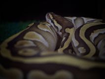 Emperor boa Boa constrictor imperator. Close Up Emperor boa Boa constrictor imperator  , Beauty in nature Stock Images