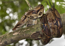 Emperor boa Boa constrictor imperator. On a tree Stock Images