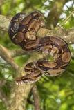 Emperor boa Boa constrictor imperator. On a tree stock photos