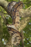 Emperor boa Boa constrictor imperator. On a tree Royalty Free Stock Photography