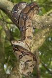 Emperor boa Boa constrictor imperator. On a tree royalty free stock photography