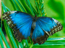 Emperor butterfly Morpho peleides royalty free stock image