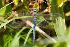 Emperor dragonfly Royalty Free Stock Images