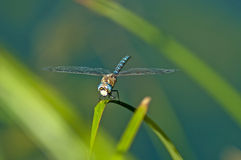 Emperor Dragonfly, Anax imperator Royalty Free Stock Photos