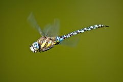 Emperor Dragonfly, Anax imperator. During flight Royalty Free Stock Photos