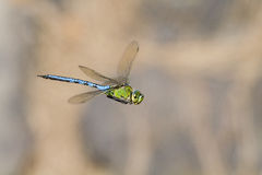 Emperor dragonfly  (Anax imperator). Closeup in flight Royalty Free Stock Images