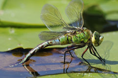 Emperor Dragonfly Stock Photography