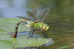 Emperor Dragonfly Stock Photos