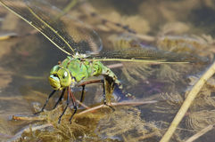 Emperor Dragonfly Stock Images