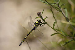 The emperor dragonfly (Anax imperator) is a large species of hawker dragonfly of the family Aeshnidae. They frequently fly high up into the sky in search of prey stock photos