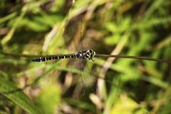 The emperor dragonfly (Anax imperator) is a large species of hawker dragonfly of the family Aeshnidae. They frequently fly high up into the sky in search of prey royalty free stock photography