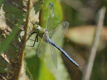Emperor Dragonfly Royalty Free Stock Photos