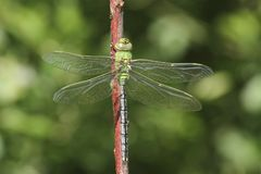 A pretty Emperor Dragonfly Anax imperator  perched on a twig. Stock Photo