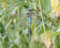 Emperor dragonfly & x28;Anax imperator& x29; at rest. Impressive blue insect in the family Aeshnidae, sitting on vegetation, aka the blue emperor stock photo
