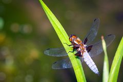 Emperor Dragonfly or Anax imperator sitting on green leaf. Macro, summer, wildlife, closeup, insect, isolated, nature, odonata, transparent, water, background stock photo