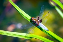 Emperor Dragonfly or Anax imperator sitting on green leaf. Macro, summer, wildlife, closeup, insect, isolated, nature, odonata, transparent, water, background stock image