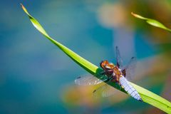 Emperor Dragonfly or Anax imperator sitting on green leaf. Macro, summer, wildlife, closeup, insect, isolated, nature, odonata, transparent, water, background stock images