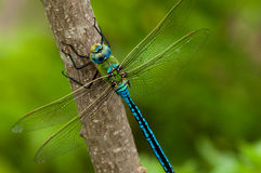 Emperor Dragonfly on a branch Royalty Free Stock Photo