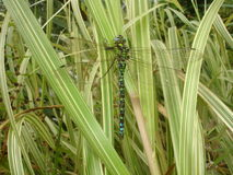 The Emperor Dragonfly Stock Image