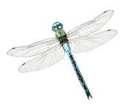 Emperor dragonfly. Digital illustration of a blue emperor dragonfly royalty free illustration