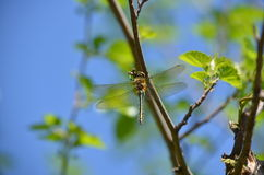 Emperor dragonfly female Stock Images
