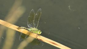 The emperor dragonfly, female laying eggs