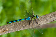 Emperor Dragonfly (male) Royalty Free Stock Photos