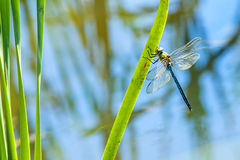 The emperor dragonfly, male. Sitting on a grass royalty free stock image