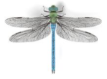 Emperor dragonfly Royalty Free Stock Photo