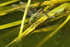 Emperor Dragonfly on reeds Stock Photo
